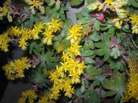fiori gialli pianta grassa nel giardino di casa - 24 marzo 2011  - Alcamo (6088 clic)