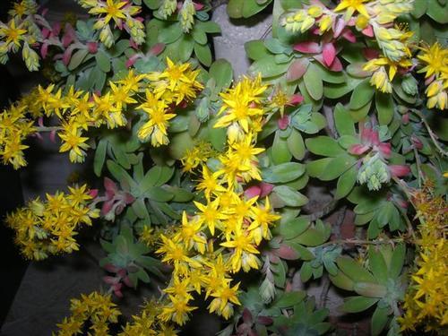 Piante Grasse Con Fiori Gialli.Fotografia Fiori Gialli Pianta Grassa Nel Giardino Di Casa 24