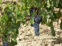 C/da Birgi Vecchi - uva nera - 4 agosto 2011  - Marsala (1516 clic)