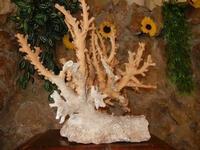 ramo di corallo - Turiddu - 22 maggio 2011  - Terrasini (1602 clic)