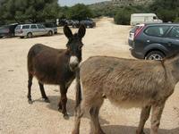 asini - C/da Cucca - La Valle dei Tramonti - 13 giugno 2010  - Custonaci (1587 clic)