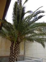 Zona Plaja - palma attaccata dal punteruolo rosso - 2 giugno 2011  - Alcamo marina (878 clic)