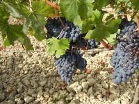 C/da Birgi Vecchi - uva nera - 4 agosto 2011  - Marsala (1124 clic)