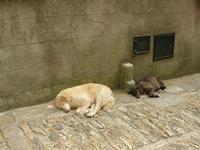 cani in riposo per le vie dell'antico borgo - 1 agosto 2011  - Erice (1574 clic)