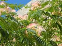 albero fiorito - particolare  - 3 luglio 2011  - Sambuca di sicilia (1352 clic)