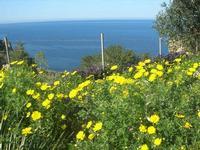 margherite sul mare - 3 aprile 2011  - Riserva dello zingaro (708 clic)