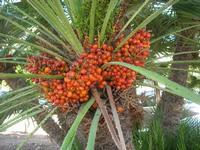 palma nana - frutti - 5 settembre 2010  - San vito lo capo (1591 clic)