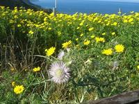 margherite sul mare - 3 aprile 2011  - Riserva dello zingaro (710 clic)