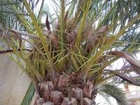 Zona Plaja - particolare di palma attaccata dal punteruolo rosso - 2 giugno 2011  - Alcamo marina (846 clic)