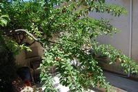 rami di susino carichi di frutti in giardino - 11 giugno 2011  - Alcamo (810 clic)