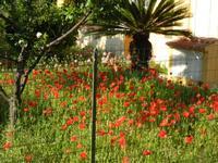 papaveri in giardino - 13 maggio 2011  - Alcamo (963 clic)