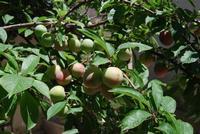 rami di susino carichi di frutti in giardino - 11 giugno 2011  - Alcamo (933 clic)