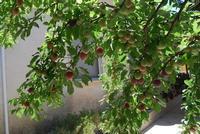 rami di susino carichi di frutti in giardino - 11 giugno 2011  - Alcamo (989 clic)