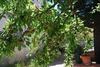 rami di susino carichi di frutti in giardino - 11 giugno 2011  - Alcamo (1010 clic)