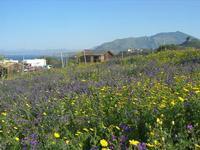 flora e monti di Castellammare - 3 aprile 2011  - Riserva dello zingaro (719 clic)