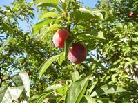 susine - albero in giardino - 11 giugno 2011  - Alcamo (965 clic)