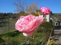 rose - Apicoltura Cannizzaro - 5 dicembre 2010  - Grammichele (1962 clic)