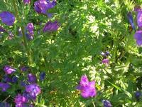 flora - 3 aprile 2011  - Riserva dello zingaro (1193 clic)