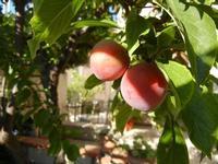susine - albero in giardino - 11 giugno 2011  - Alcamo (966 clic)