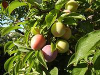 susine - albero in giardino - 11 giugno 2011  - Alcamo (1103 clic)