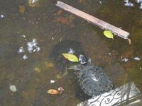 tartaruga nella vasca del giardino pubblico di Piazza Bagolino - 15 maggio 2011  - Alcamo (811 clic)