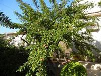 albero di susino in giardino - 11 giugno 2011  - Alcamo (828 clic)