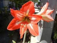 gigli rossi - 14 maggio 2011  - Alcamo (981 clic)