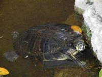 tartaruga nella vasca del giardino pubblico di Piazza Bagolino - 15 maggio 2011  - Alcamo (816 clic)