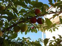 susine - albero in giardino - 11 giugno 2011  - Alcamo (867 clic)