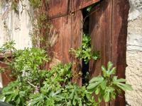 albero di fico sbircia da un vecchia porta - 24 aprile 2011  - Castellammare del golfo (1046 clic)