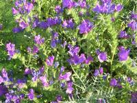 flora - 3 aprile 2011  - Riserva dello zingaro (1196 clic)
