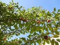 susine - albero in giardino - 11 giugno 2011  - Alcamo (1070 clic)