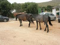 cavalli - C/da Cucca - La Valle dei Tramonti - 13 giugno 2010  - Custonaci (1968 clic)