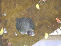 tartaruga nella vasca del giardino pubblico di Piazza Bagolino - 15 maggio 2011  - Alcamo (803 clic)