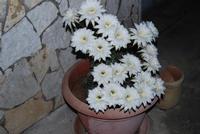 fiori di cactus appena sbocciati in 19 contemporaneamente - 1 giugno 2011  - Alcamo (733 clic)
