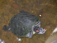 tartaruga nella vasca del giardino pubblico di Piazza Bagolino - 15 maggio 2011  - Alcamo (852 clic)