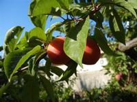 susine - albero in giardino - 11 giugno 2011  - Alcamo (935 clic)