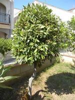 alberello di alloro - 4 ottobre 2011  - Alcamo (832 clic)