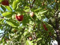 susine - albero in giardino - 11 giugno 2011  - Alcamo (979 clic)