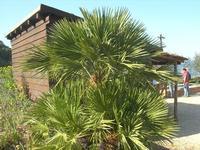palma nana - l'ingresso alla Riserva lato sud - 3 aprile 2011  - Riserva dello zingaro (701 clic)