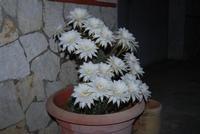 fiori di cactus appena sbocciati in 19 contemporaneamente - 1 giugno 2011  - Alcamo (737 clic)