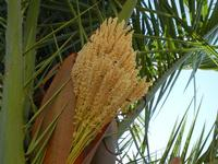 fiore di palma - 1 agosto 2011  - Alcamo (624 clic)