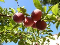 susine - albero in giardino - 11 giugno 2011  - Alcamo (1038 clic)