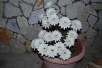 fiori di cactus appena sbocciati in 19 contemporaneamente - 1 giugno 2011  - Alcamo (665 clic)