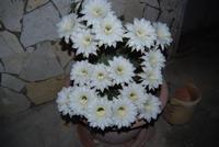 fiori di cactus appena sbocciati in 19 contemporaneamente - 1 giugno 2011  - Alcamo (672 clic)