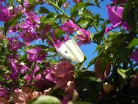 farfalla e buganvillea - 1 agosto 2011  - Alcamo (707 clic)