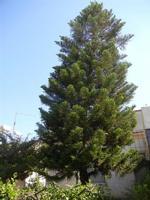 albero - 4 ottobre 2011  - Alcamo (637 clic)