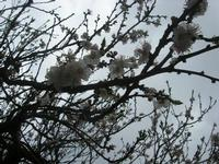fiori di albicocco - giardino del'I.C. Pascoli - 19 marzo 2011  - Castellammare del golfo (952 clic)