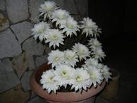 fiori di cactus appena sbocciati in 19 contemporaneamente - 1 giugno 2011  - Alcamo (678 clic)