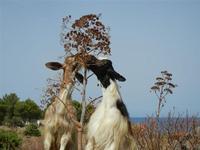 capre e flora . . . buon appetito! - 19 luglio 2011  - San vito lo capo (954 clic)